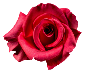 New Rose Png HD